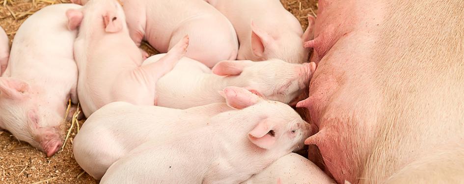 biggetjes biggen varkens ascogen