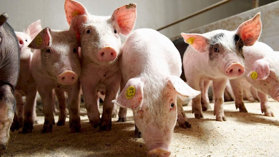 kopergehalte varkensvoer